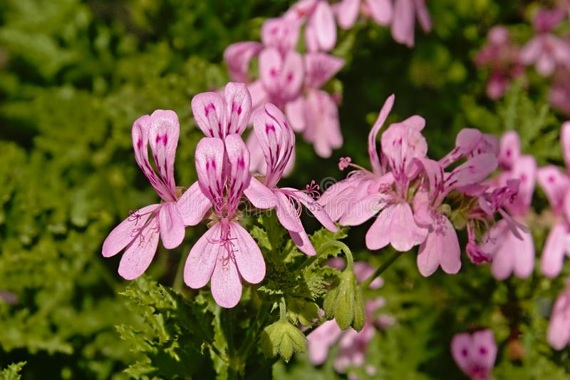 Flores rosadas brillantes del geranio - glutinosum del Pelargonium fotos de archivo libres de regalías