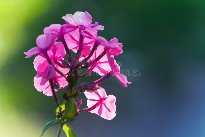 Flores rosadas brillantes del polemonio en jardín del verano imagen de archivo