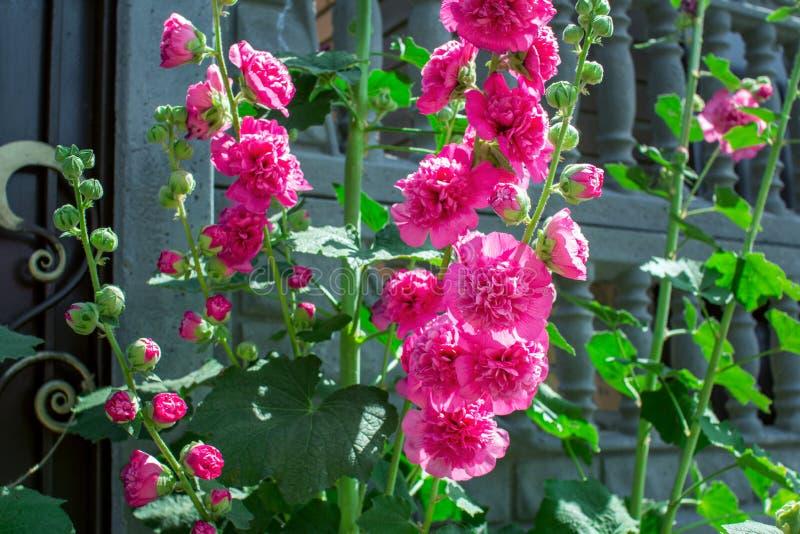 Flores rosadas brillantes florecientes hermosas de la malva – malva foto de archivo