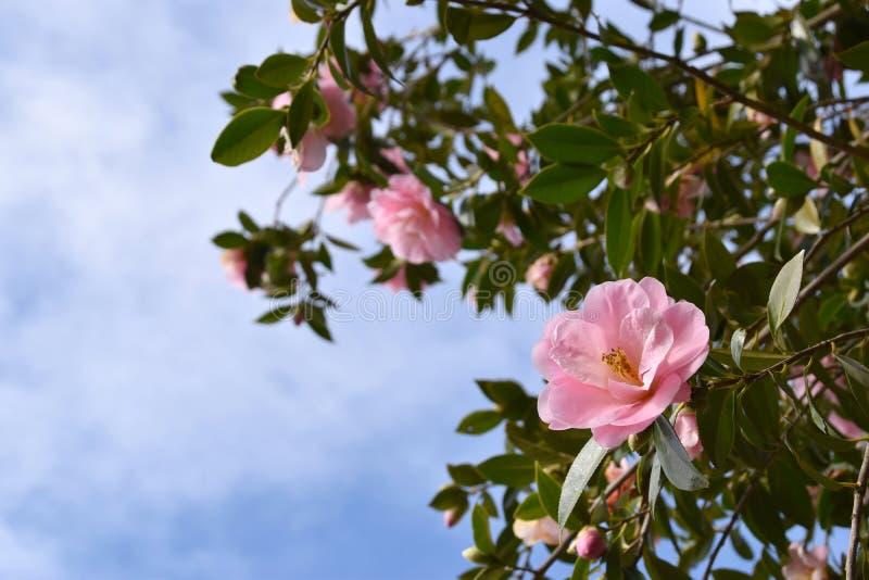 Flores rosadas - camelia foto de archivo libre de regalías