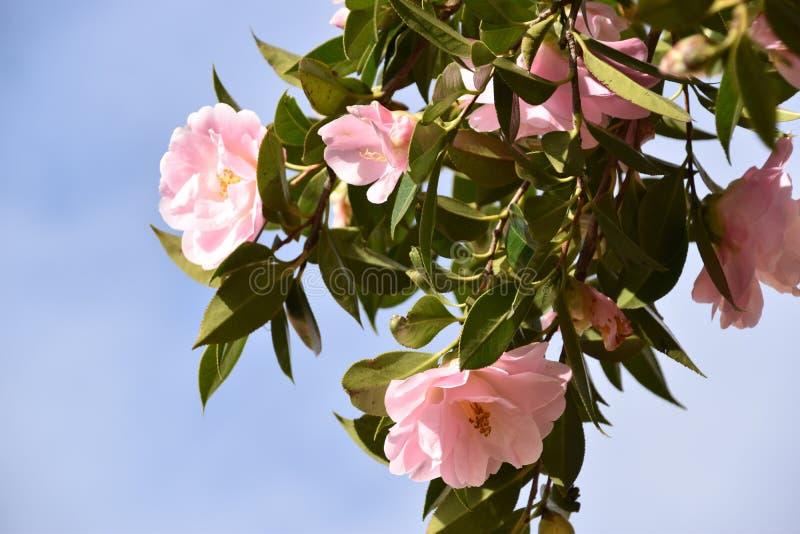 Flores rosadas - camelia fotos de archivo