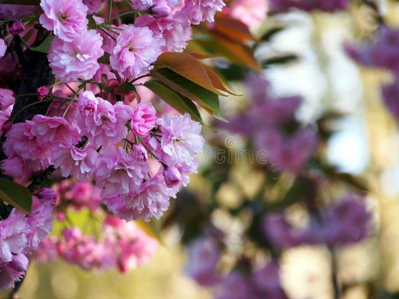 Flores rosadas, cereza japonesa fotos de archivo