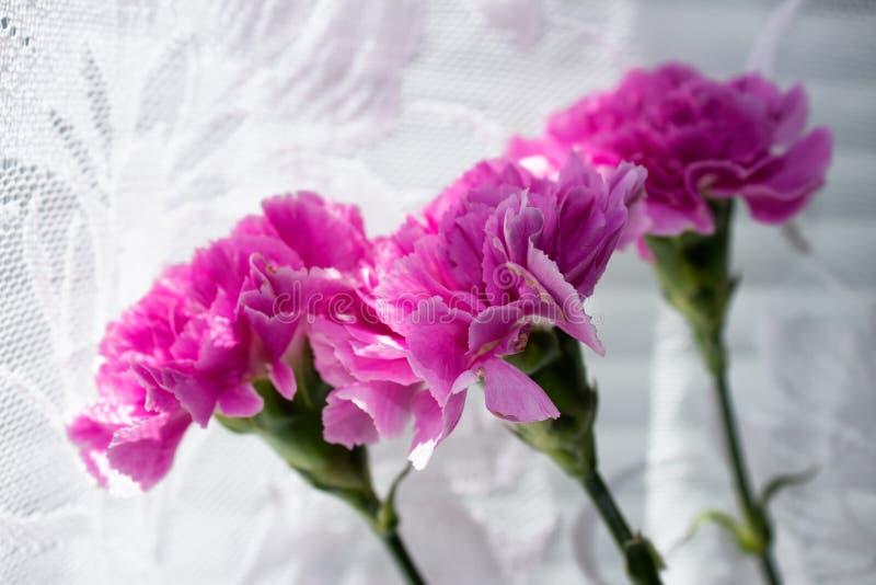 Flores rosadas - claveles en el fondo blanco imágenes de archivo libres de regalías