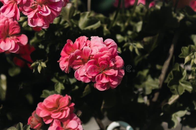 Flores rosadas con el fondo verde silenciado foto de archivo libre de regalías