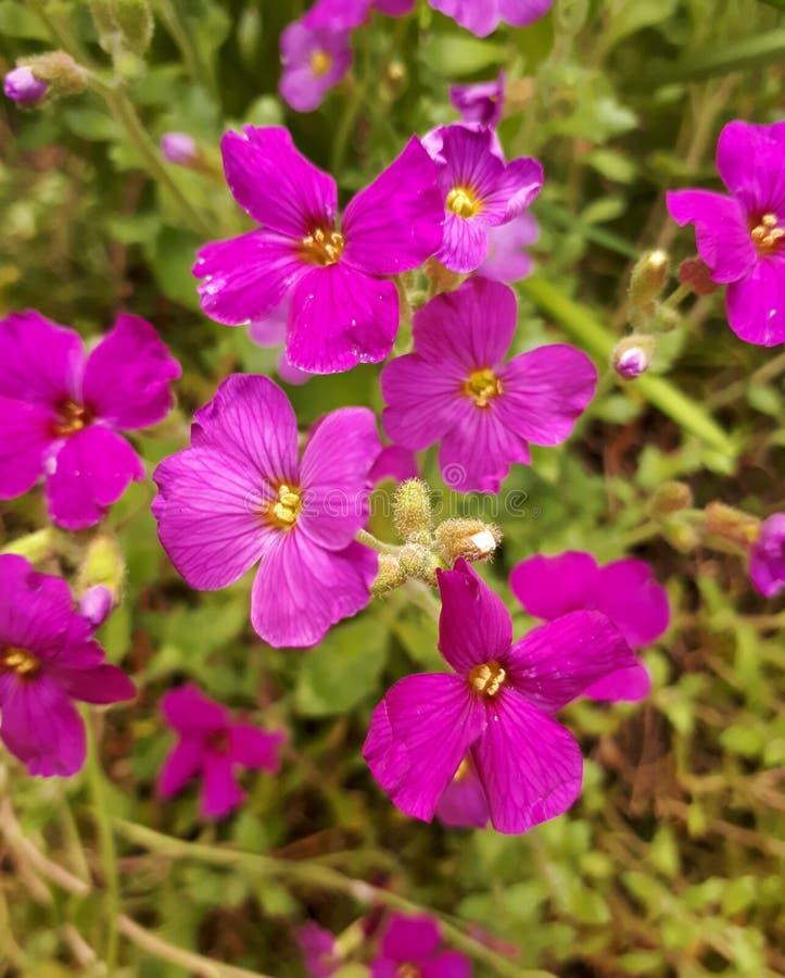 Flores rosadas de Aubrieta en el jardín fotos de archivo libres de regalías