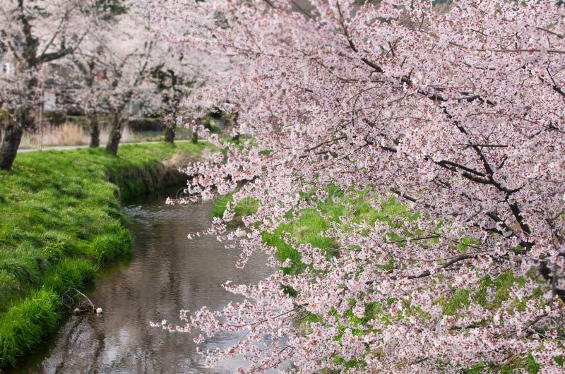 Flores rosadas de Cherry Blossom, Japón imágenes de archivo libres de regalías