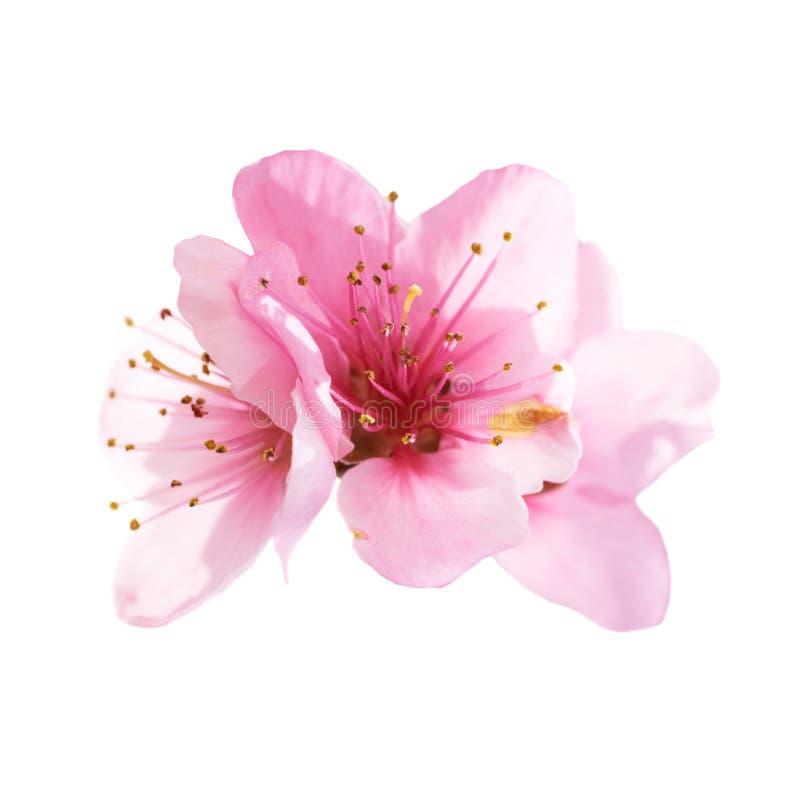 Flores rosadas de la almendra aisladas en blanco fotografía de archivo libre de regalías