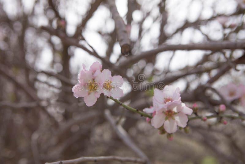 Flores rosadas de la almendra y fondo borroso de las ramas imagen de archivo libre de regalías