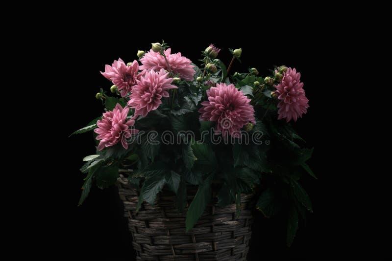 Flores rosadas de la dalia en una cesta de mimbre foto de archivo libre de regalías