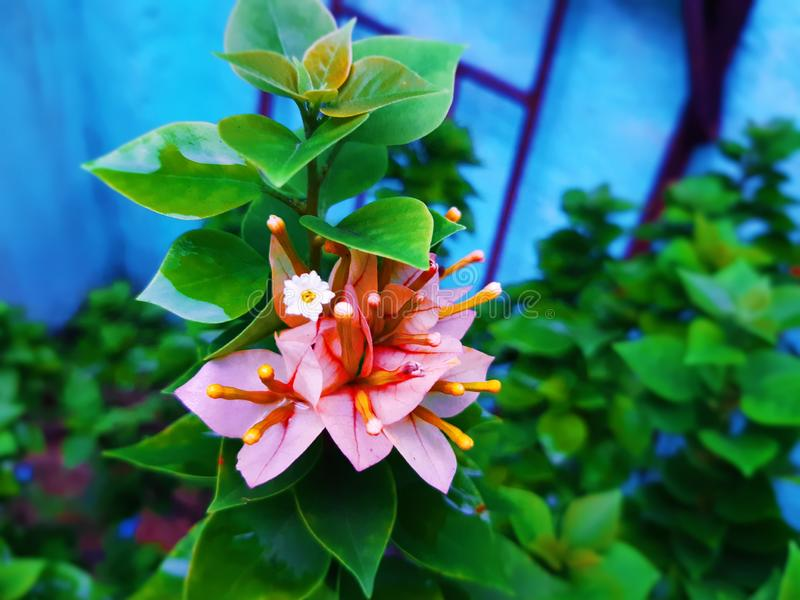 Flores rosadas de la hoja con las hojas verdes foto de archivo libre de regalías