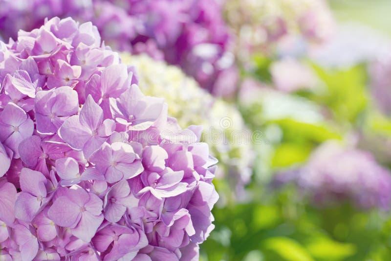 Flores rosadas de la hortensia con luz del sol del verano imagen de archivo libre de regalías