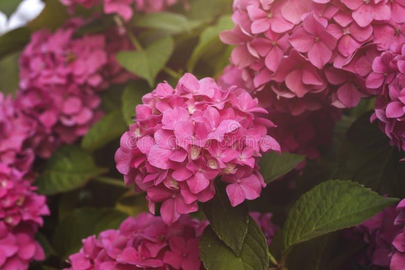 Flores rosadas de la hortensia o del hortensia imagen de archivo