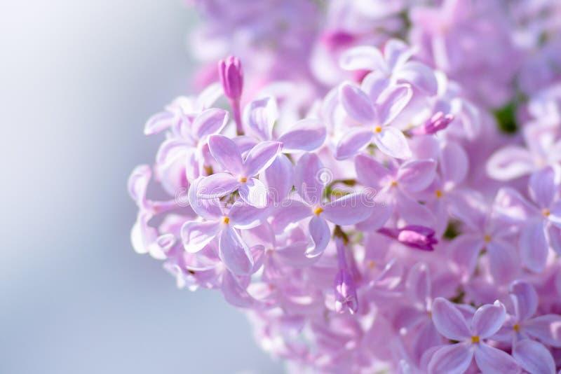 Flores rosadas de la lila fotografía de archivo libre de regalías