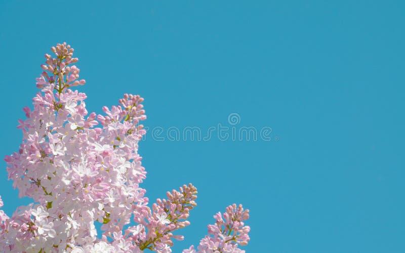 Flores rosadas de la lila contra de azul imagen de archivo