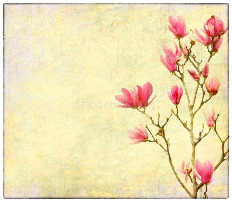 Flores rosadas de la magnolia en el papel viejo imagen de archivo