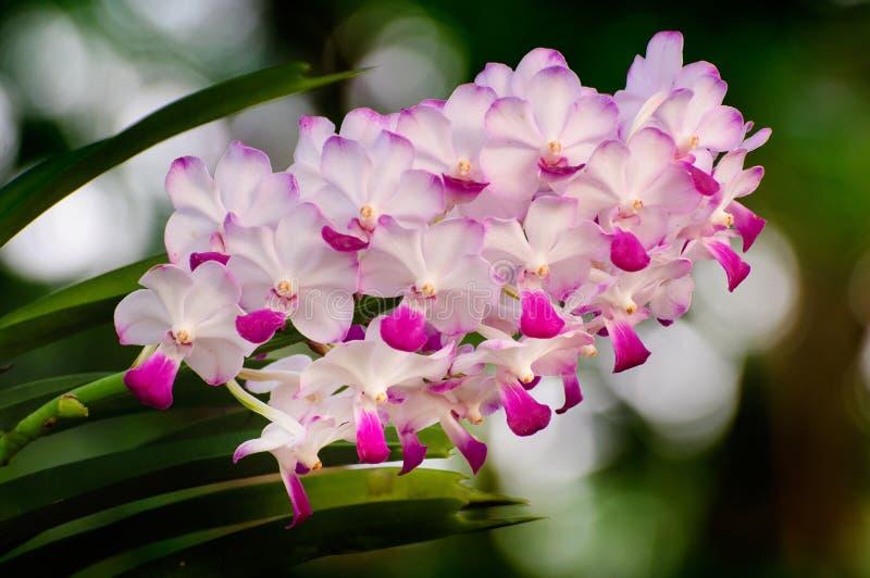 Flores rosadas de la orquídea imagenes de archivo