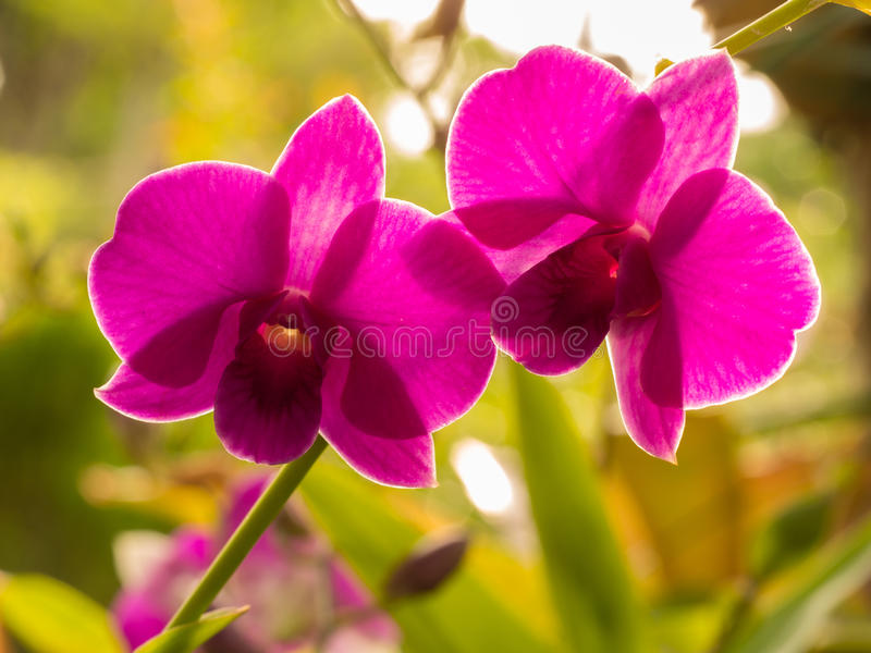 Flores rosadas de la orquídea del dendrobium fotografía de archivo