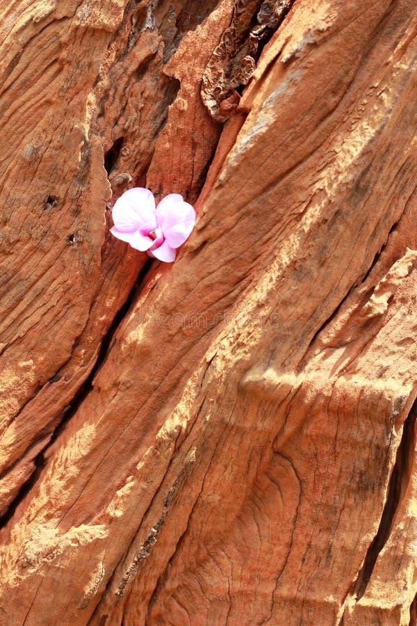 Flores rosadas de la orquídea en la madera fotos de archivo