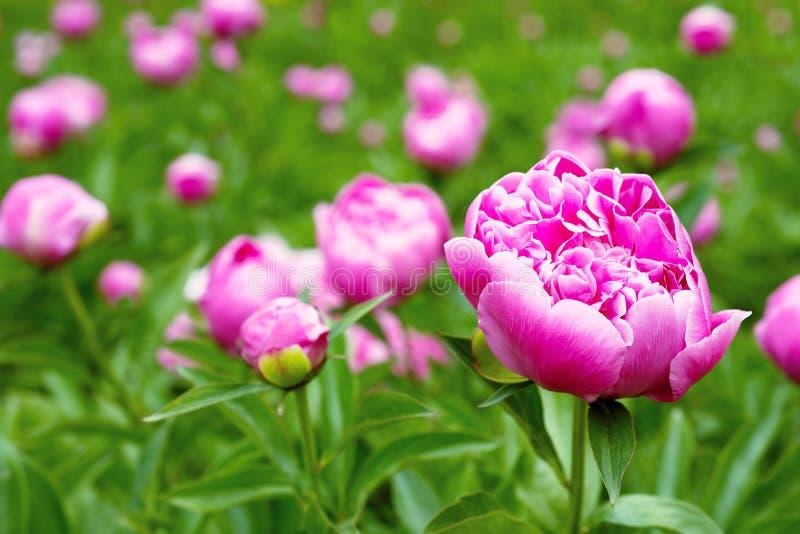 Flores rosadas de la peonía en el jardín fotos de archivo libres de regalías