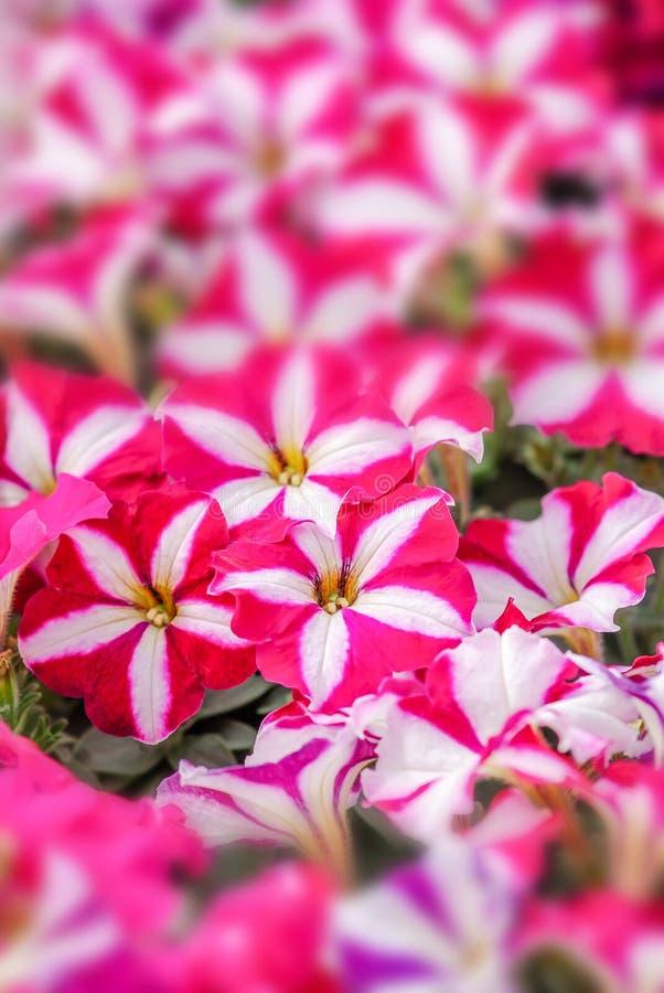Flores rosadas de la petunia imagen de archivo libre de regalías
