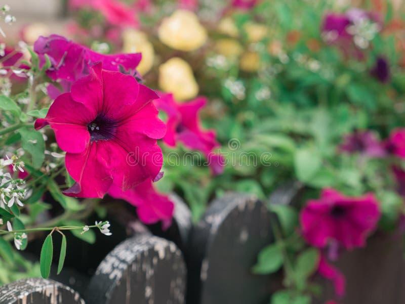 Flores rosadas de la petunia que florecen en la cerca fotos de archivo libres de regalías