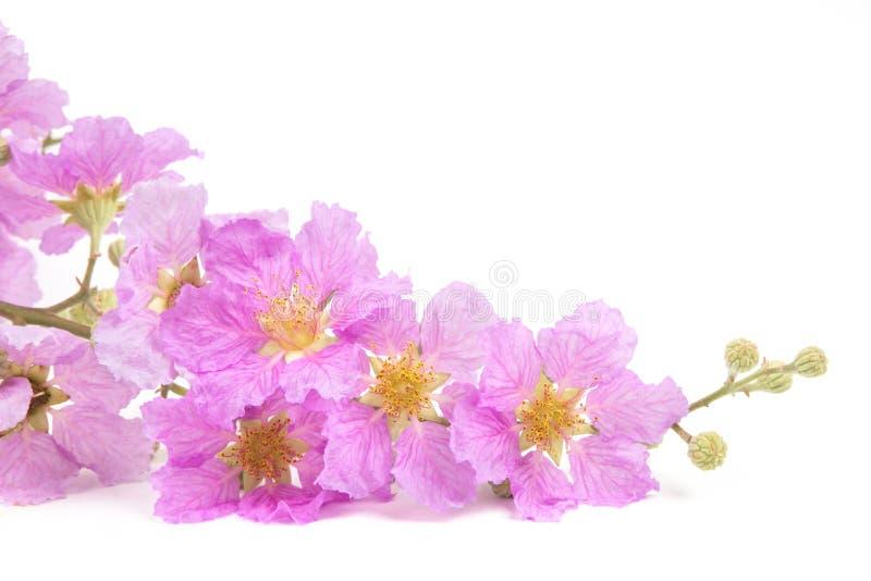 Flores rosadas de la primavera aisladas foto de archivo libre de regalías