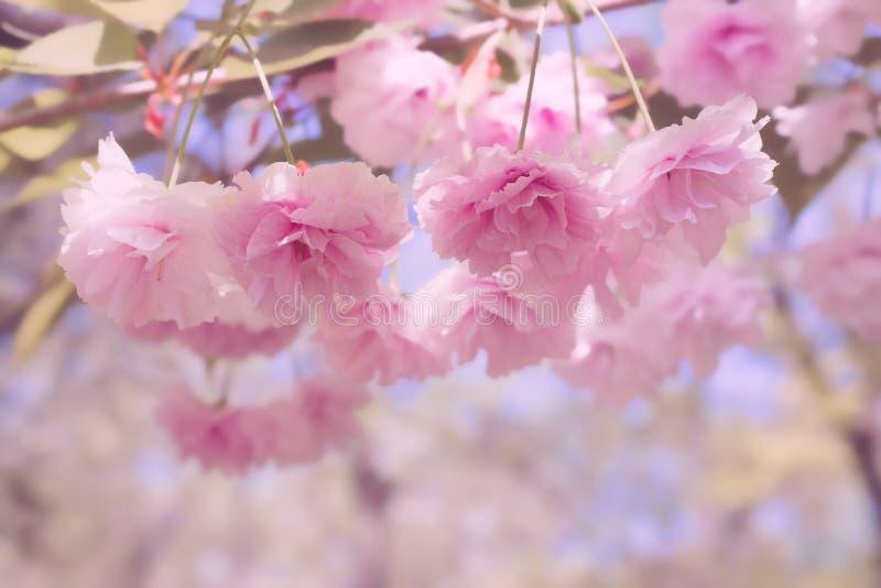 Flores rosadas de la suavidad de Sakura y de ramas japoneses con las hojas en un rosa borroso y un fondo púrpura fotografía de archivo
