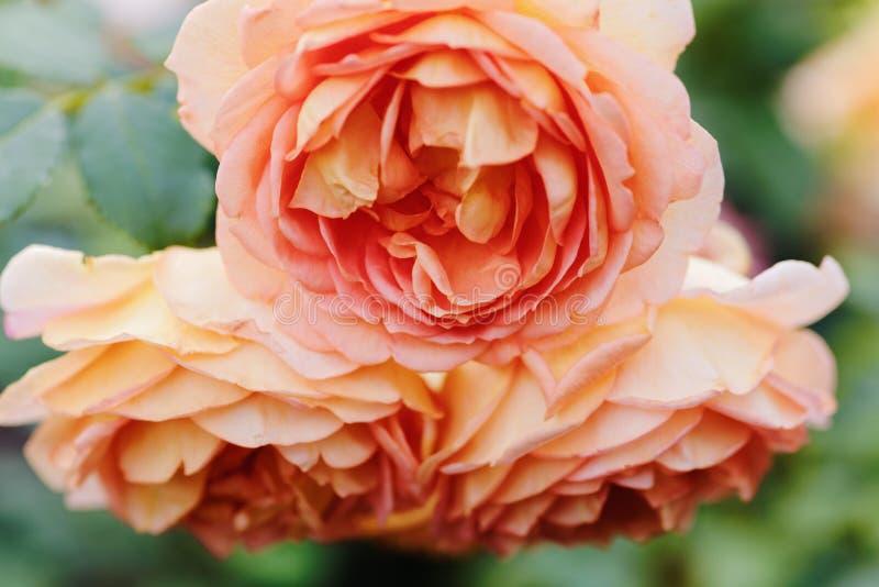 Flores rosadas de las rosas en el contexto del bokeh Fondo floral con el foco selectivo suave Imagen teñida estilo del vintage fotos de archivo