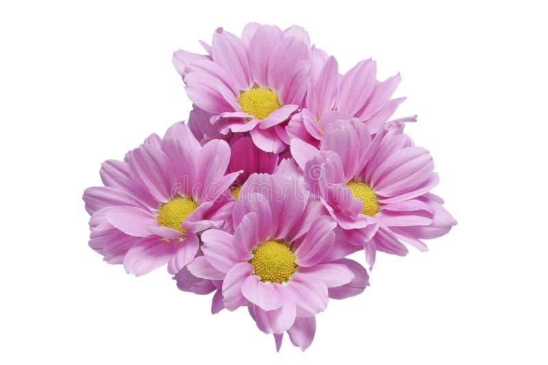 Flores rosadas de los crisantemos imagen de archivo