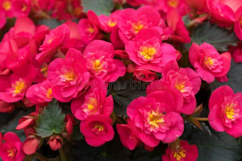 Flores rosadas de los grandis de la begonia, mal de amor, amor amargo fotos de archivo
