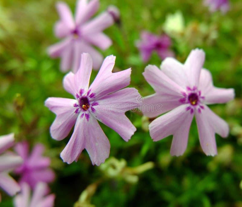 Flores rosadas de Moss Phlox en primavera imagenes de archivo