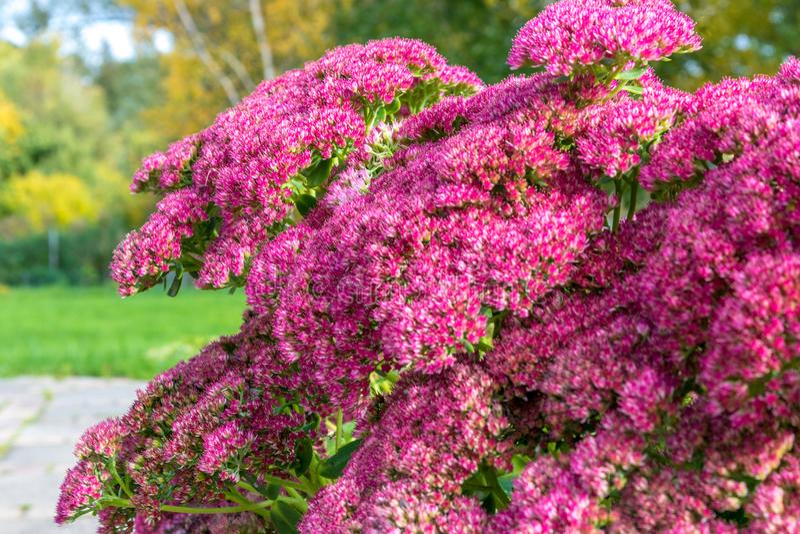 Flores rosadas de Sedum Spectabile imagenes de archivo