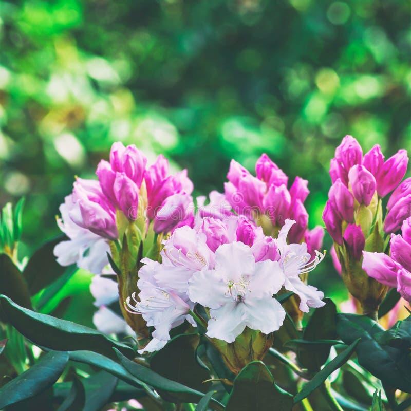 Flores rosadas de un rododendro fotos de archivo