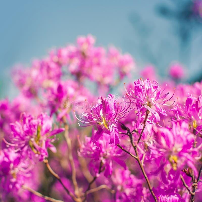Flores rosadas de un rododendro foto de archivo