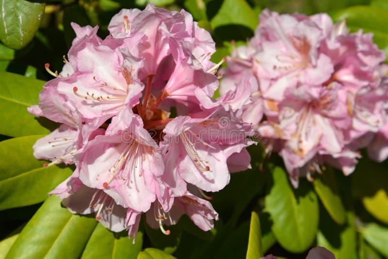 Flores rosadas de un rododendro y de un x28; Rododendro L y x29; , ascendente cercano fotografía de archivo
