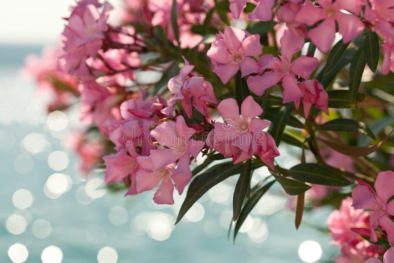 Flores rosadas del adelfa contra el mar azul foto de archivo libre de regalías