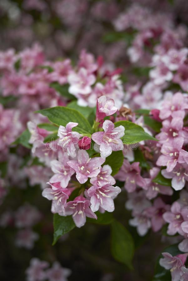Flores rosadas del arbusto del weigela imágenes de archivo libres de regalías