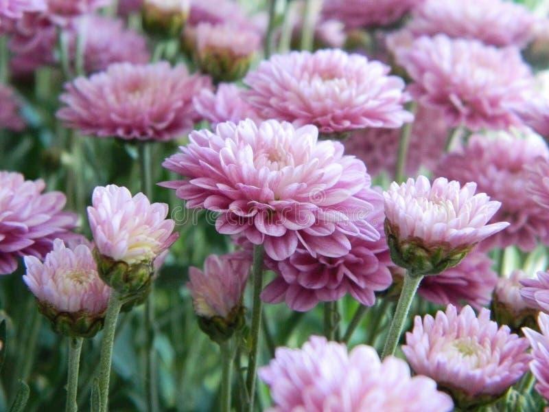 Flores rosadas del aster fotografía de archivo libre de regalías