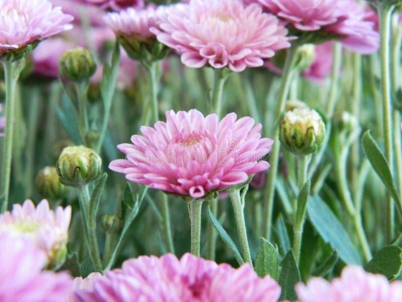 Flores rosadas del aster foto de archivo