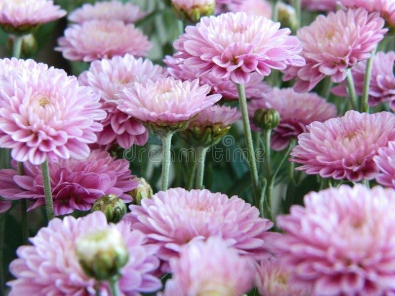 Flores rosadas del aster fotografía de archivo