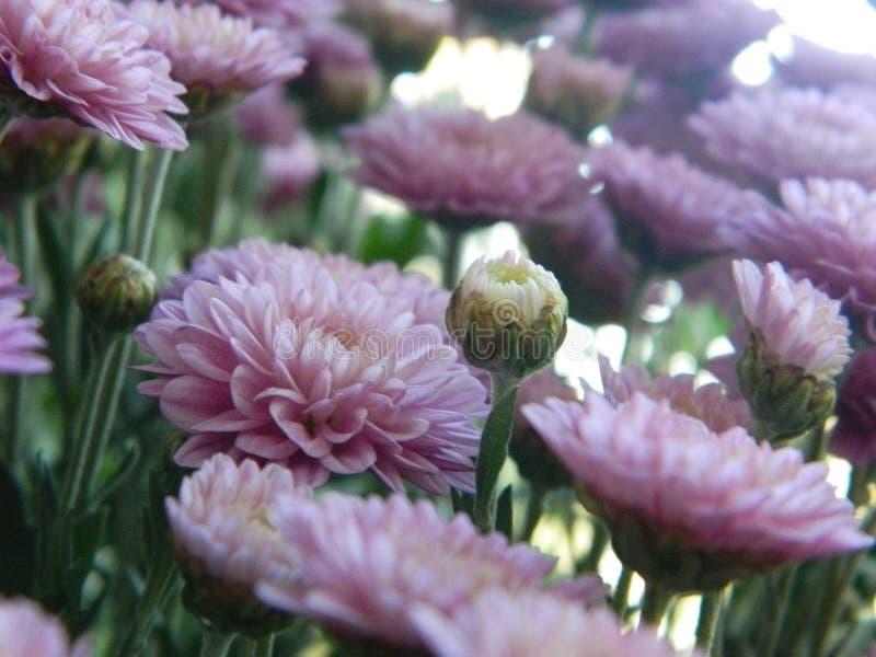 Flores rosadas del aster imagenes de archivo