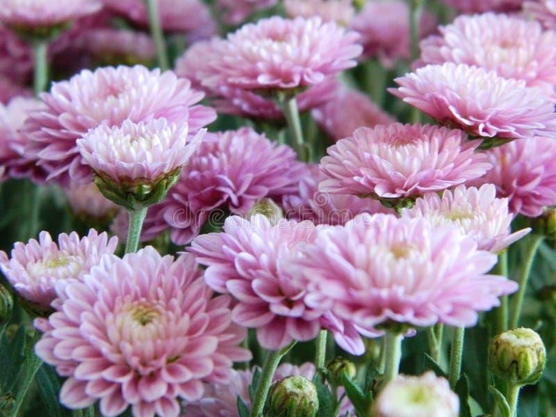 Flores rosadas del aster fotos de archivo