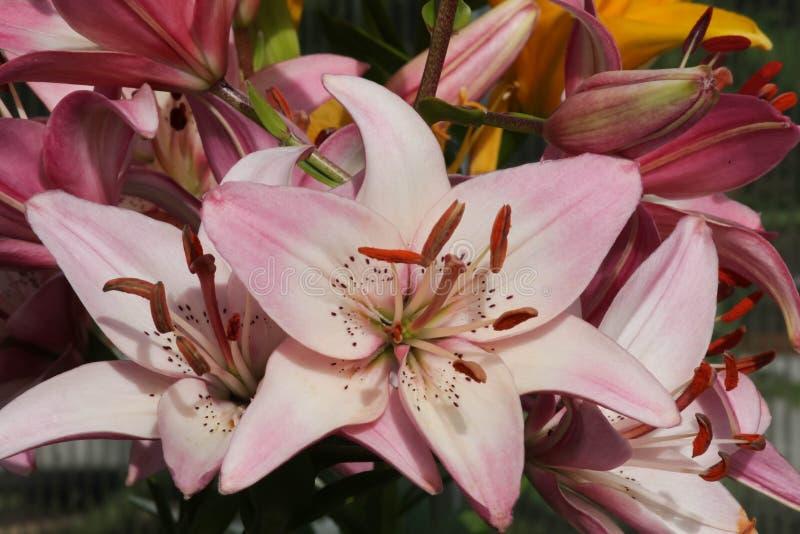Flores rosadas del aziatisch del lilium en fondo verde imagenes de archivo
