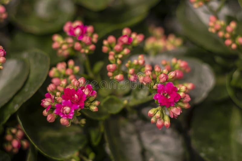 Flores rosadas del blossfeldiana del kalanchoe imágenes de archivo libres de regalías