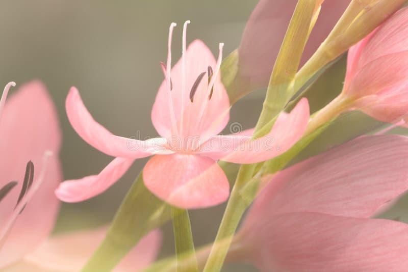 Flores rosadas del Cafre-lirio imágenes de archivo libres de regalías