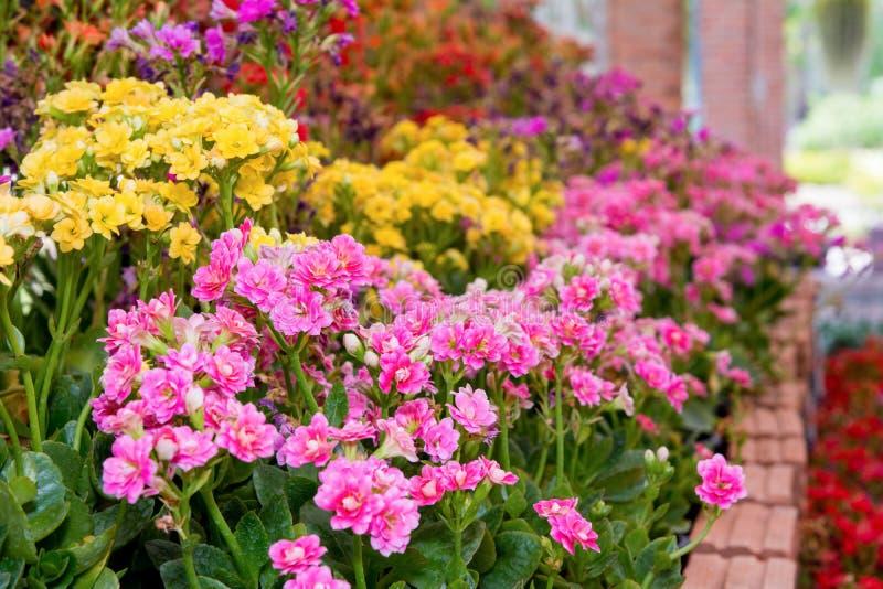 Flores rosadas del calandiva del kalanchoe imagen de archivo