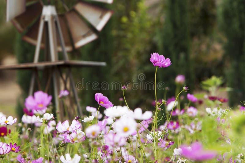 Flores rosadas del cosmos del jardín imágenes de archivo libres de regalías