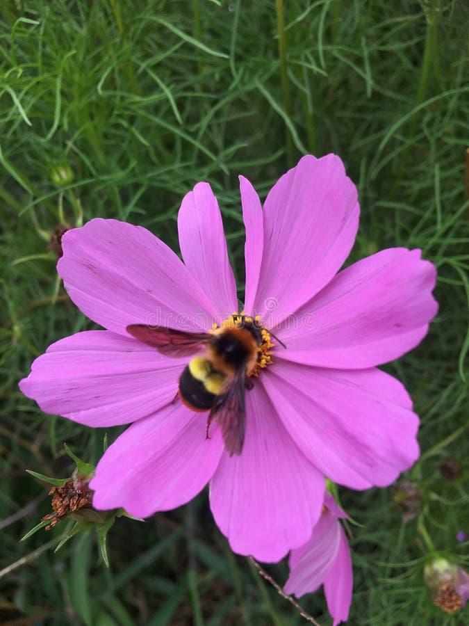 Flores rosadas del cosmos que florecen en el jardín en la estación de lluvias con pulular de la abeja fotografía de archivo