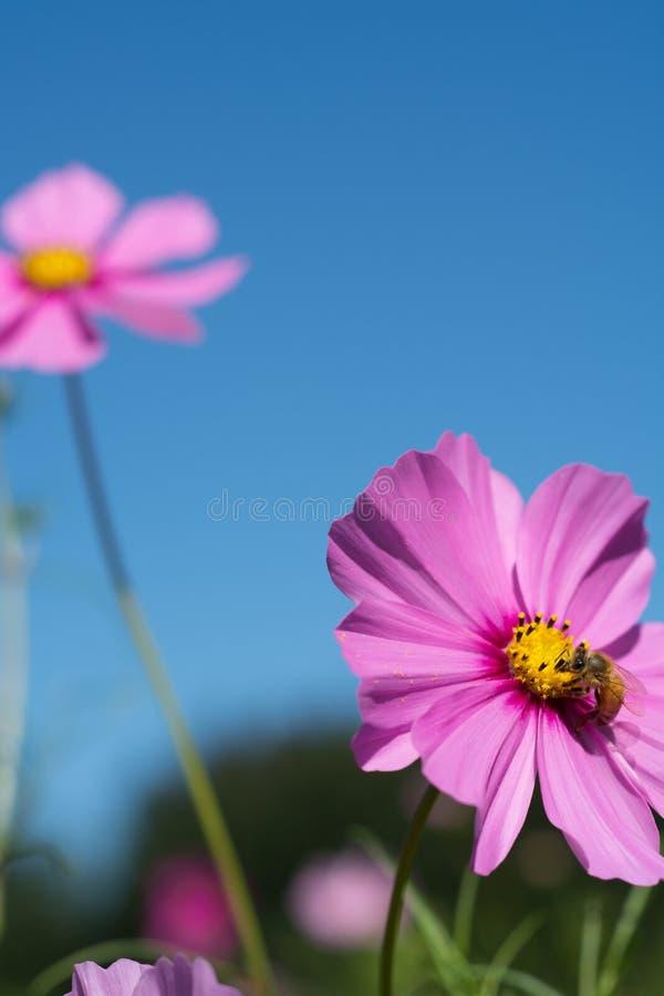Flores rosadas del cosmos y una abeja contra el cielo azul brillante fotografía de archivo
