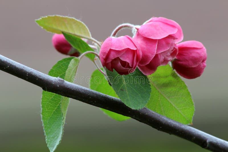Flores rosadas del crabapple foto de archivo libre de regalías